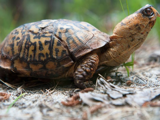 Tommy, an Eastern box turtle with metabolic bone disease and a missing foot, is an education turtle at the Woodford Cedar Run Wildlife Refuge in Medford.