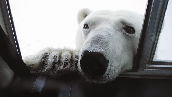 Polar Bear Viewing in Churchill, Canada, offers a cultural immersion into an Arctic way of life, with a chance to view bears as they migrate from summer to winter hunting grounds in Manitoba.