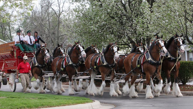 The Budweiser Clydesdales.
