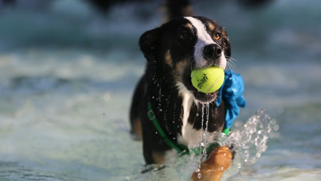 A dog named Delilah runs with a tennis ball in her mouth during the annual Pooch Plunge in Fort Collins in this file photo.