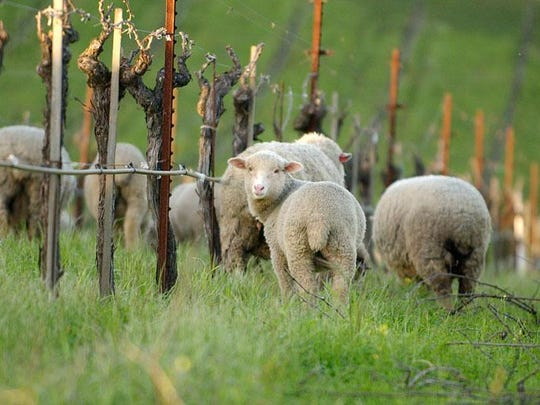 Lambs are raised at Robert Sinskey Vineyards in the Napa Valley, as seen in this 2012 image.