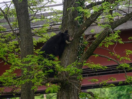 Vestal bear