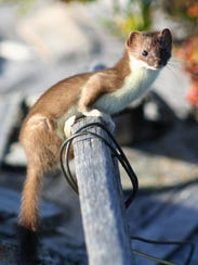 Short-tailed weasel on collapsed building