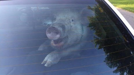 A pig is pictured in the back of a Shelby Township police cruiser on May 28, 2015.