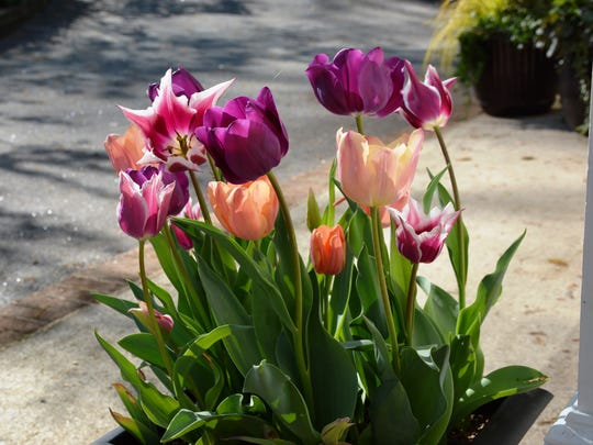 In the Upstate, colorful hybrid tulips are best grown in containers as annuals.