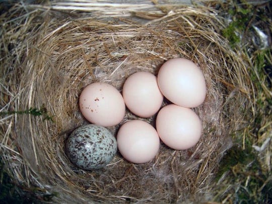 A cowbird egg sits in an Eastern phoebe's nest.