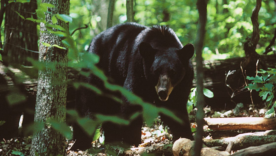 Smokies spence field shelter closed after bear bite for Nc fishing license cost