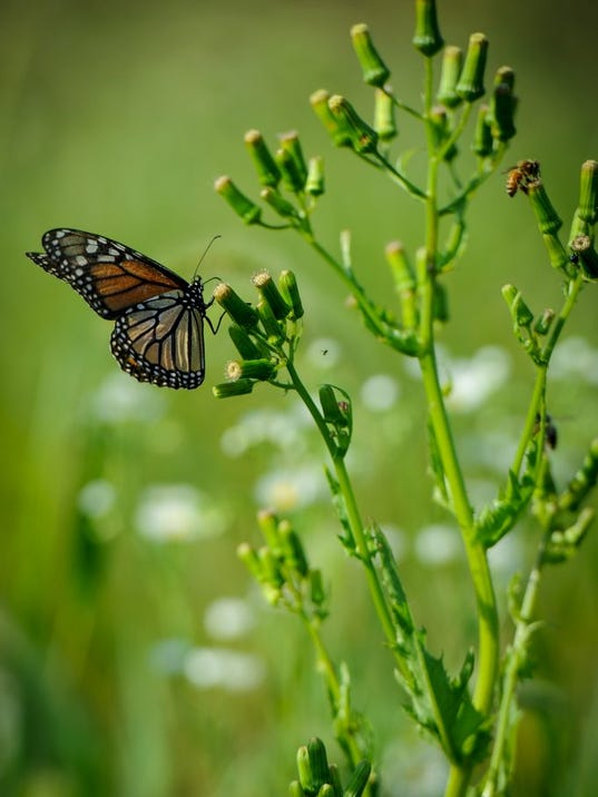 The annual fall monarch butterfly migration is underway, with many of the notable orange and black butterflies making their way through Pennsylvania on their long journey to central Mexico, Monday, September 12, 2016. John A. Pavoncello photo