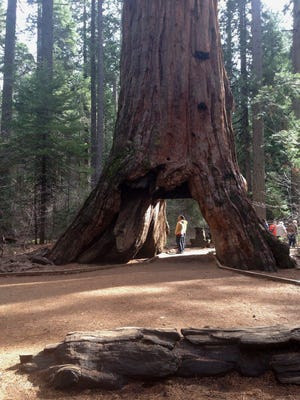 The Pioneer Cabin Tree, also known as 'Tunnel Tree', a giant sequoias at Calaveras Big Trees State Park and one of California's oldest tourist attractions that was brought down by heavy rains near Arnold, California.