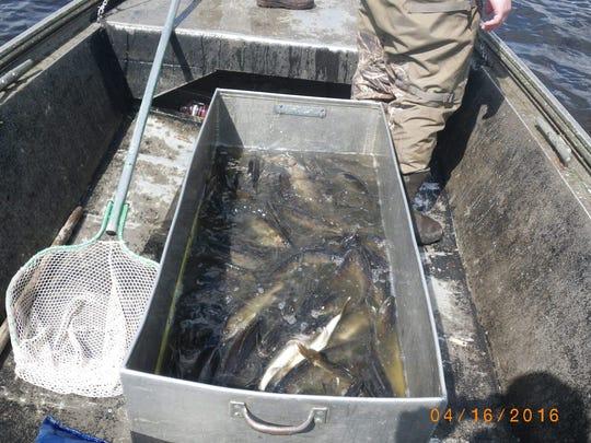 Walleyes surveyed in northern Wisconsin