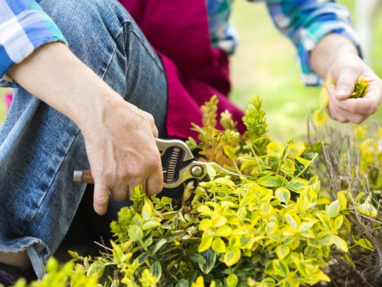 If you have a large number of plants to prune, you