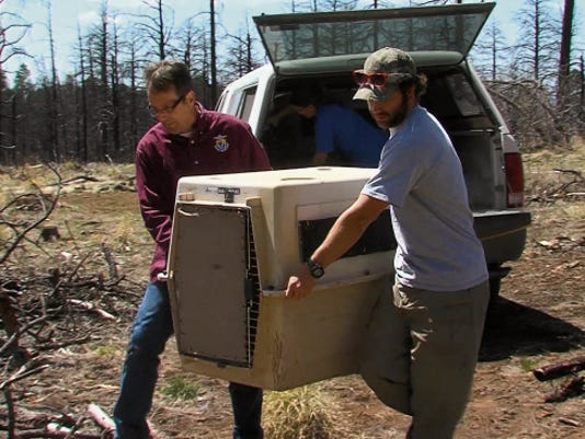 A team with Arizona Game and Fish prepareS to release one of the two Mexican gray wolves.