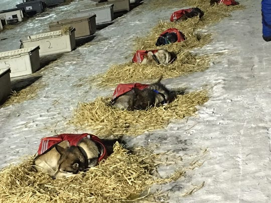 Sleeping sled dogs after their finish in the Iditarod,
