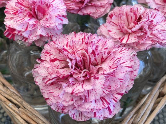 Devon Cottage Pinball Wizard Dianthus