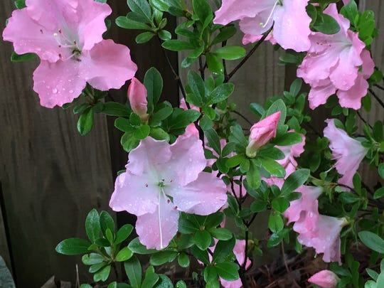 Azaleas pose a risk of neurological and heart problems in cats and dogs.