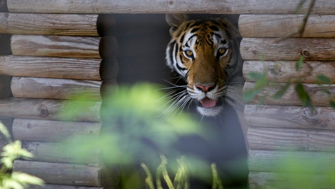 A bengal tiger peers out from the shelter in her enclosure on Tuesday at Kowiachobee Animal Preserve in Golden Gate Estates.