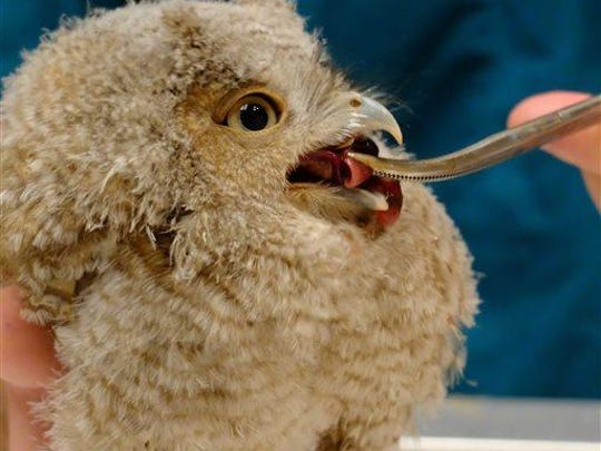 A baby screech owl is fed at The Schuylkill Center for Environmental Education in Philadelphia on Tuesday. A Philadelphia television meteorologist broke off from a trail run to rescue the injured baby screech owl and take it to the wildlife center, where its doing well.