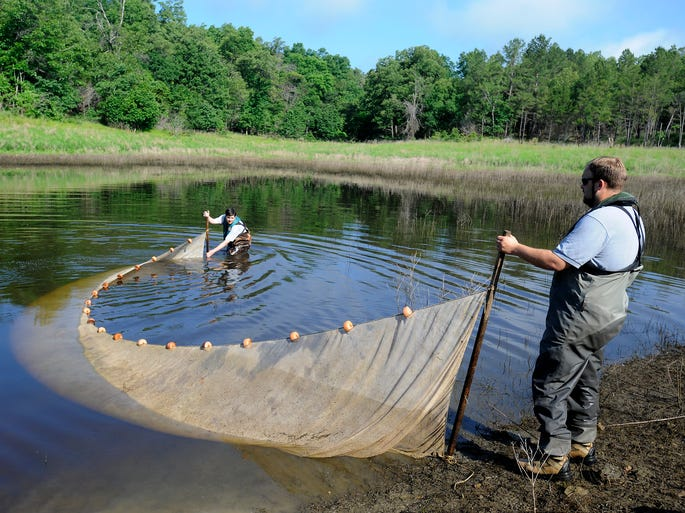 Jeremy Risley, District 2 Fisheries Supervisor with the Arkansas Game & Fish Commission, and Paul Port, fisheries management biologist, uses a seine net Tuesday to determine how many walleye fingerlings the commission will release into Norfork Lake from its nursery pond.
