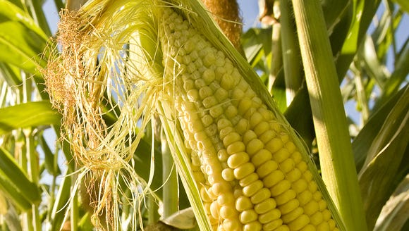 You can crack corn, but the lyrics to the old song