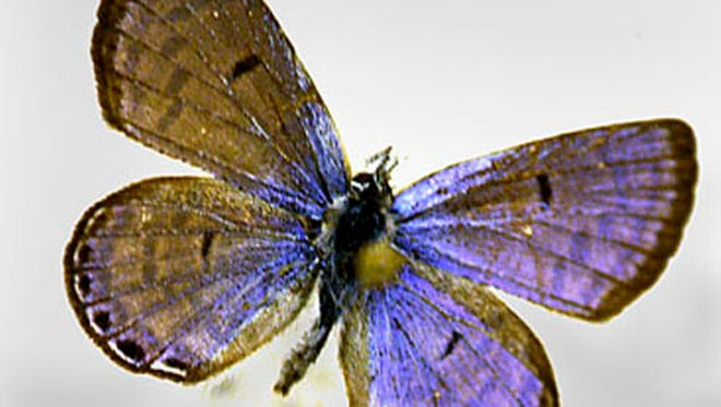 In this June 15, 2007, file photo, a Mount Charleston Blue Butterfly, Icaricia Shasta Charlestonensis (male), is displayed in Mt. Charleston, Nevada.