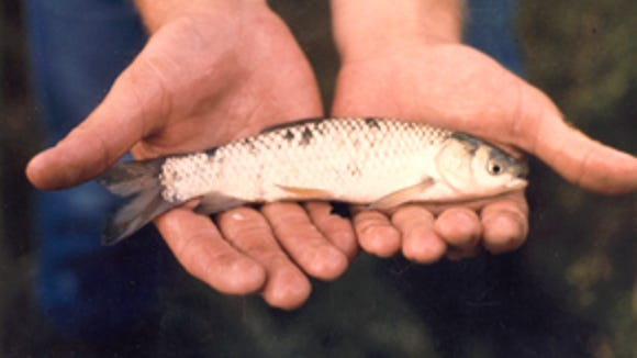 A small triploid (sterile) grass carp of the size that's planted in water bodies to control aquatic vegetation.