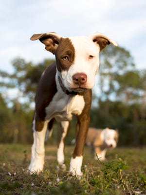"""Dakota, a six-month old pit-bull and weimaraner mix, plays outside her owner's home Monday, Jan. 30, 2017 in Golden Gate Estates. Dakota was recently adopted by Veronica Bertrand and her boyfriend Jesse Peterson at the Naples Humane Society. But not before she traveled to New York City in October to be filmed for Animal Planet's upcoming """"Puppy Bowl"""" on Feb. 5th."""