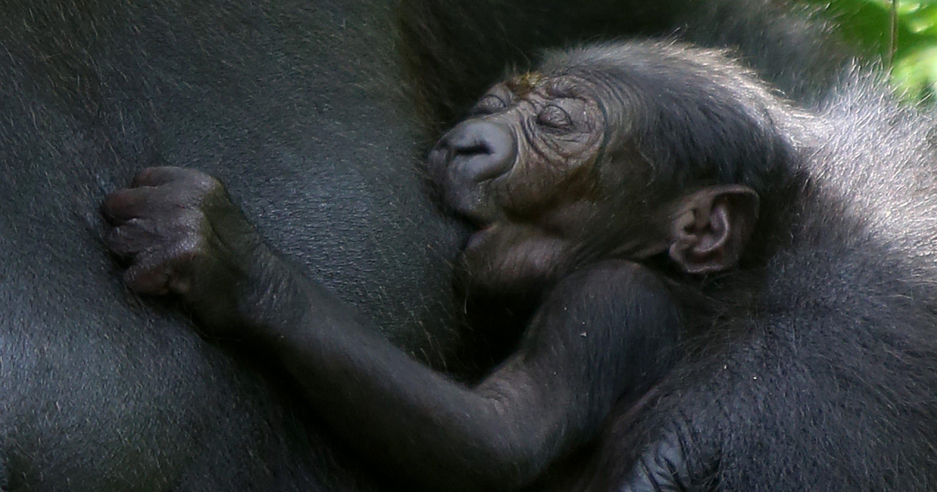 Gorilla Mondika Either A Boy Or A Girl Who Knows Mom S