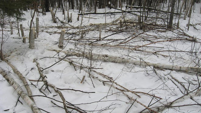 """This photo, posted on the Facebook page of the Washburn County Sheriff's Office shows the aftermath of birch tree thefts. """"We found out these people are not discriminate. They'll steal anything,"""" said Washburn County Sheriff's Chief Deputy Mike Richter. """"We've had people say 'we didn't know there was anything wrong with it.' Some said 'we're just logging, what's the problem?' Well, they don't own the property, that's the problem."""""""