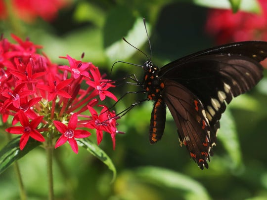 The increased number of butterflies is good news for the local ecology.