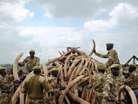 Kenya Wildlife Services (KWS) rangers pile up elephant