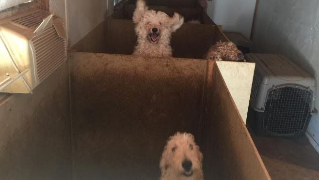 The Maricopa County Sheriff's Office said it seized 14 labradoodles from a home in east Mesa during an animal-cruelty investigation on Dec. 12, 2016.