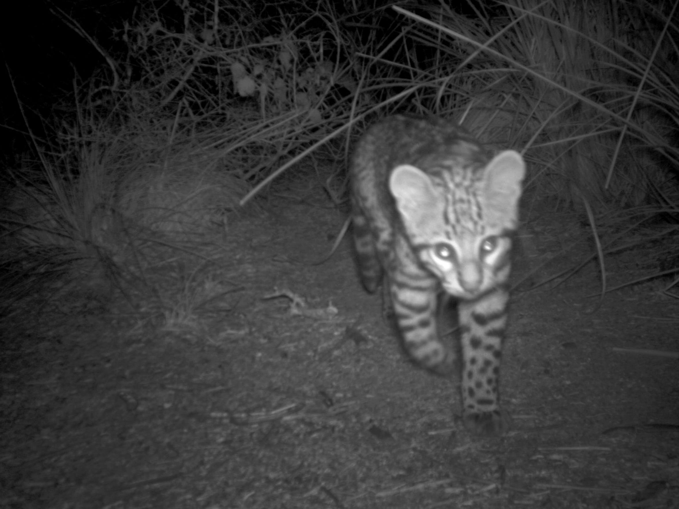 An ocelot kitten at Laguna Atascosa National Wildlife Refuge in February 2014.
