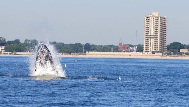 A breaching whale off Deal Beach, N.J.