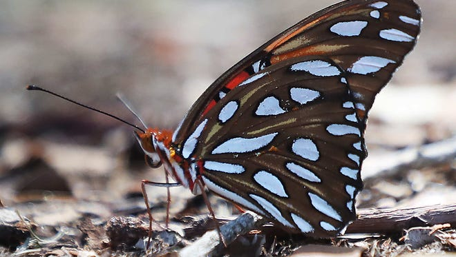 After the recent North American Butterfly Association's summer butterfly count, however, the numbers have revealed that local butterflies, for the most part, are doing just fine.