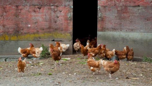 Stock image of Free Range Hens