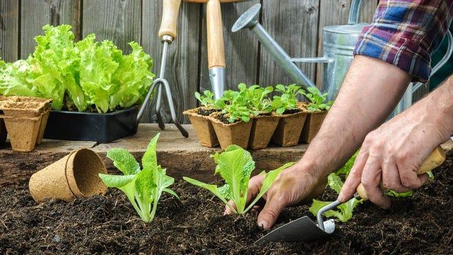 Planting lettuce seedlings.