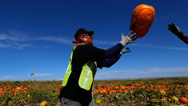 Pumpkin Patch Fundraisers field worker Terrence Tesethlikai works with his crew during the harvest on Sept. 28 at a Navajo Agricultural Products Industry farm site south of Farmington.