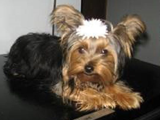 Tosha is one of two Yorkshire terriers stolen from