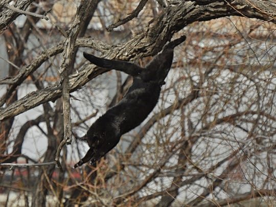 A cat falls from a treetop and into the Truckee River after a botched amateur rescue attempt on Tuesday, Jan. 23.