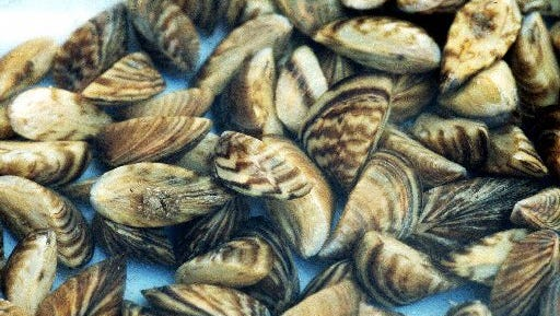 Zebra mussels multiply rapidly and can literally suck the life out of a fishery. They have caused billions of dollars of damage in the Great Lakes region.