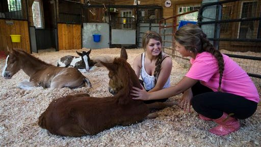 In this Thursday, May 7, 2015 photo, adopter Stephanie Toth, center, and friend Sierra Smith select a foal at Last Chance Corral in Athens, Ohio. During the foaling season of January to June, the rescue typically sees between 150-200 foals pass through their care and onto adoptive homes. (AP Photo/John Minchillo)