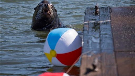 In this May 26, 2015 photo, A California sea lion swims by beach balls tied to a dock in the East End Mooring Basin in Astoria, Ore. The Port of Astoria is attempting to use the beach balls as a sea lion deterrent according to the Daily Astorian.