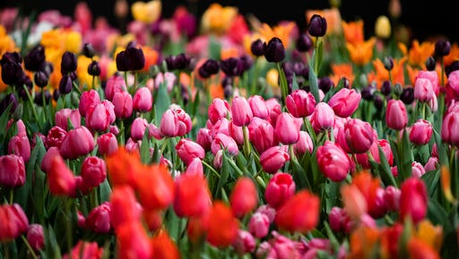 """Tulips are displayed during a preview of the Philadelphia Flower Show Friday, March 10, 2017 at the Pennsylvania Convention Center in Philadelphia. The theme of this year's floral festival is """"Holland: Flowering the World"""" and it is scheduled to run from March 11 through March 19."""