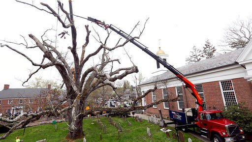 A contractor from Yoos Crane and Tree Service dangles above the ground using a chainsaw to cut limbs from a historic oak tree in Basking Ridge, N.J., Monday, April 24, 2017. A white oak tree that has watched over a New Jersey community and a church for hundreds of years began its final bow Monday as crews began its removal and residents fondly remembered the go-to spot for formal photos, landmark for driving directions and the remarkable piece of natural history. Crews at the Basking Ridge Presbyterian Church in Bernards began taking down the 600-year-old tree that was declared dead after it began showing rot and weakness over the last couple of years.