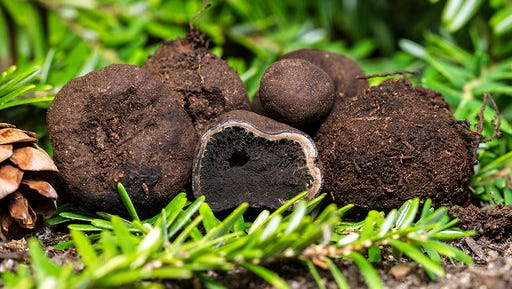 This 2014 photo provided by the University of New Hampshire shows E. barletti, a species of truffle discovered by researchers with the New Hampshire Agricultural Experiment Station. The species is named for Josiah Bartlett, a signer of the Declaration of Independence and New Hampshire's first governor.