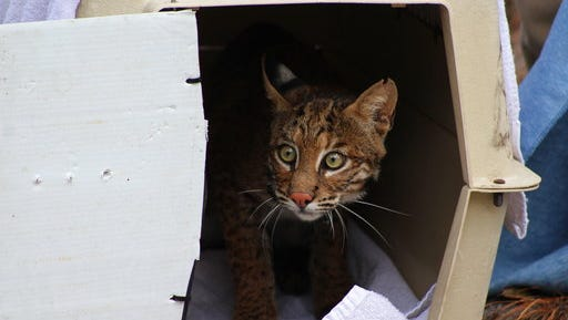 This photo provided by the Jekyll Island Authority shows a Bobcat being released on Jekyll Island, Ga., Friday, Oct. 6, 2017.   It was one of the younger cats, estimated to be roughly 1 1/2 years old now, that hikers found in late September lying in the sand and unable to move its rear legs, said Joseph Colbert III, Jekyll Island's wildlife manager. That was the first time anybody had seen one of the bobcats up close. Colbert said he knew immediately the wild cat had to be very sick. Bobcats are elusive animals that tend to avoid humans whenever possible.  (Jekyll Island Authority via AP)