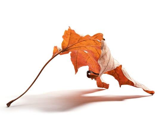 636385650511946852-Fall-Maple-Leaf-1---Print.jpg