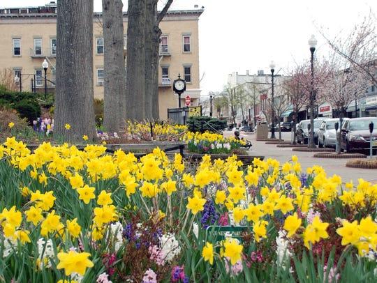 125652 Ridgewood 04/22/14  Daffodils at Memorial Park
