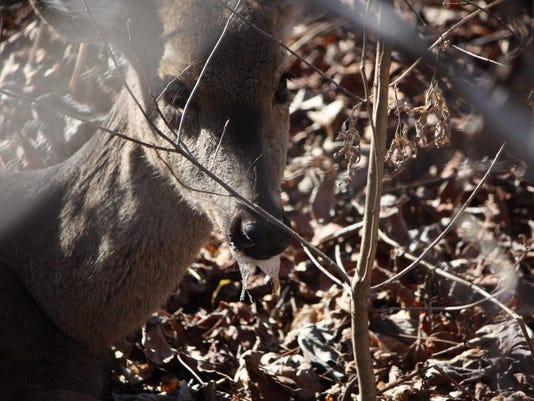 CWD Deer 2