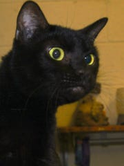 Lucy is a black beauty. She's a sweetheart that is declawed and already spayed, reducing her fee. She found herself at the county shelter recently. Now she's looking for a new, inside ONLY home! For more info, please call the Crittenden Co. Animal Shelter.